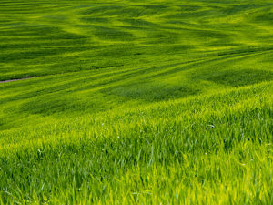 North America;USA;Idaho;Palouse Country;Rolling Green Hills of Spring Wheat
