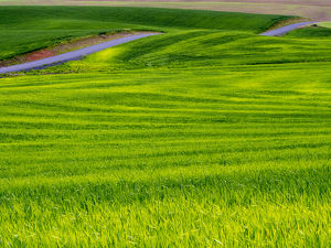 North America;USA;Idaho;Palouse Country;Rolling Green Hills of Spring Wheat With