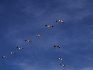 North America;USA;New Mexico; Bosque del Apache National Wildlife Refuge;Snow Geese