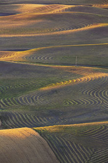North America;USA;Washington State;Palouse Region;Crops of Wheat and Peas nearing Harvest