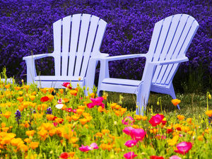 North America;USA;Washington;Adirondack chairs In Field of Lavendar and Poppies