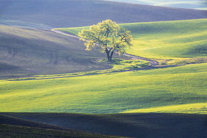 North America;USA;Washington;Palouse;Lone Tree in Wheat Field