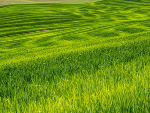 North America;USA;Washington;Palouse Country;Rolling Green Hills of Spring Wheat