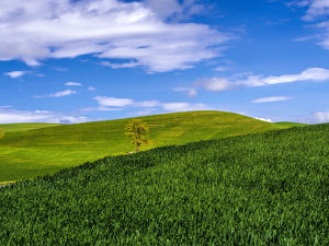 North America;USA;Washington;Palouse Country;Lone Tree in Spring Wheat Field