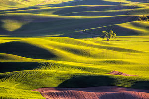 North America;Usa;Washington;Palouse Country;Lone Tree in Wheat Field with Evening Light