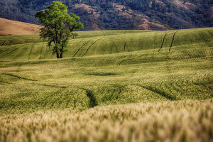 North America;USA;Washington;Palouse Region;Lone Tree in Harvest Wheat Field