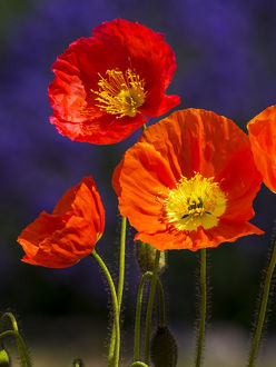 North America;USA;Washington;Poppies on Display