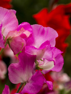 North America;USA;Washington;Seattle;Sweet Peas in Bloom