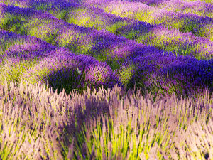North America;USA;Washington;Sequim;Lavender Field;Lavendar Field in full boom