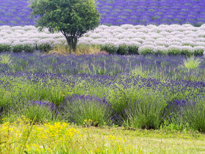 North America;USA;Washington;Sequim;Lavender Field;Lavendar Field in full boom with