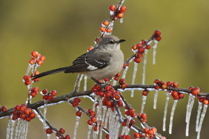 Northern Mockingbird (Mimus polyglottos), adult perched on icy branch of Possum Haw Holly