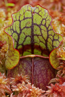 Northern Pitcher Plant, Sarracenia purpurea, in Sphagnum moss, Hiawatha National Forest