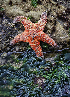 Olympic National Park, USA, Second Beach - Ochre Sea Star and seaweed