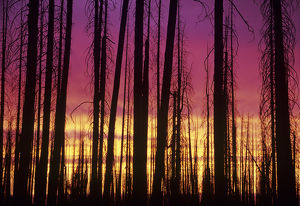 OR, Hells Canyon National Recreation Area, Hat Point; Lodgepole pines at sunset