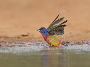 Painted Bunting (Passerina ciris), adult male bathing, Rio Grande Valley, South Texas