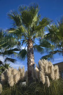 Palm Trees Pampas Grass Daroush Vineyard Napa Vineyards California Owner of Daroush