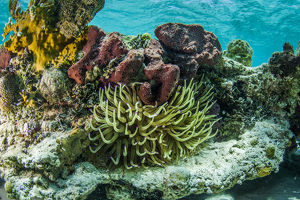 caribbean/exuma/photograph sea anemone surrounded soft hard corals