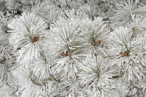 Pine tree with heavy frost crystals, Kalispell, Montana