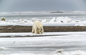 Polar Bears near Kaktovic, Alaska