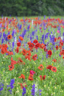 Poppy field, Mount Olive, North Carolina, USA