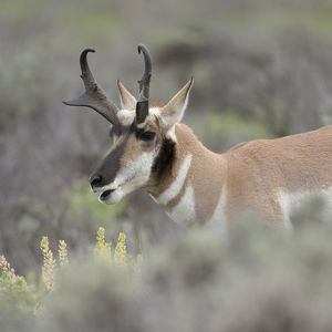 usa/wyoming/pronghorn antelope buck feeding sagebrush antilocapra