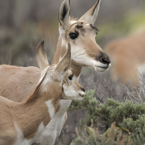 Pronghorn antelope doe with this years fawn, Grand Tetons NP, Wyoming, wild