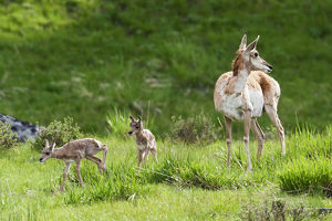 Pronghorn Antelope with newborn twin fawns