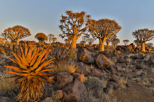 Quiver trees landscape, Namibia