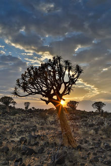 Quiver trees landscape at sunrise, Namibia