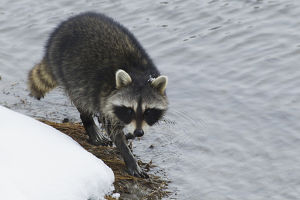 Racoon; winter foraging
