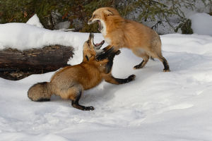 Red Foxes fighting in winter, (Captive) Montana Vulpes vulpes