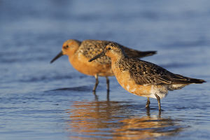 Red Knot Pair