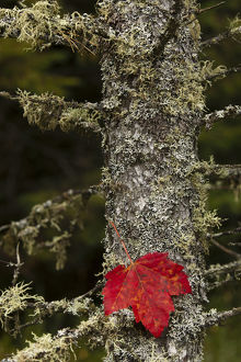 Red leaf and Old Mans Beard lichen on tamarack, Hiawatha National Forest, Alger County
