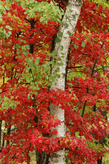 Red maple leaves in autumn and white birch tree trunk, Upper Peninsula of Michigan