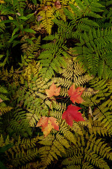 Red Maple leaves on ferns, Hiawatha National Forest, Upper Peninsula of Michigan