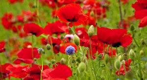 Red Poppies Flowers Blue Clover in Field Snoqualme Washington Papaver Rhoeas Common