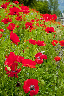 Red Poppies Flowers in Field Snoqualme Washington Papaver Rhoeas Common Poppy Flower