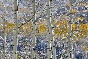 Rocky Mountains aspen grove autumn snows Keebler Pass Colorado
