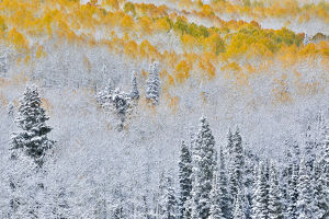 Rocky Mountains Colorado Fall Colors of Aspens and fresh snow Keebler Pass