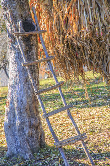 Romania Maramures County, Dobricu Lapusului.Hand-made ladder leaning on tree