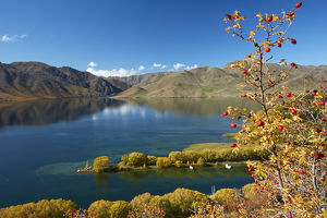Rosehip berries and Sailors Cutting in autumn, Lake Benmore, Waitaki Valley, North Otago