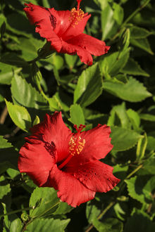 San Diego, California. Water droplets on two red hibiscus flowers with green leaves