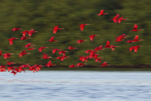 Scarlet Ibis Flying to Evening Roost