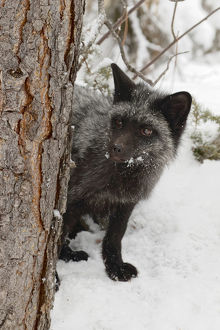Silver Fox a melanistic form of the red fox, Vulpes vulpes. (Captive) Montana