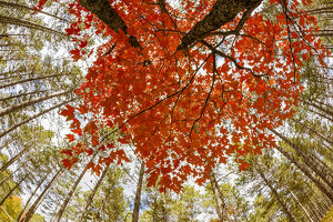 Skyward view of maple tree in pine forest, Upper Peninsula of Michigan