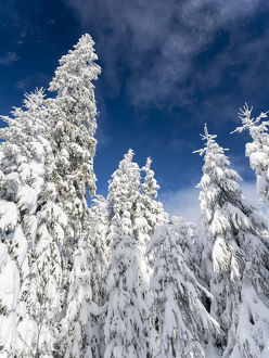 Snowy forest in the National Park Bavarian Forest (Bayerischer Wald) in the deep of winter