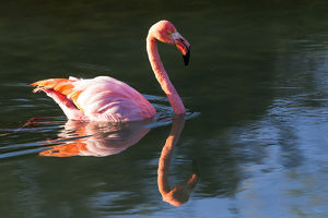 South America, Ecuador, Galapagos Islands, Isabela, Punta Moreno, greater flamingo