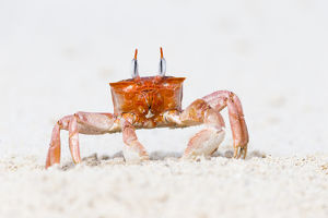 South America, Ecuador, Galapagos Islands, San Cristobal, Cerro Brujo, ghost crab