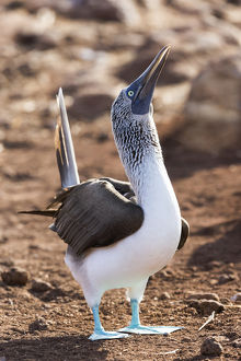 South America, Ecuador, Galapagos Islands, North Seymour Island, blue-footed booby