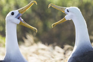 South America, Ecuador, Galapagos Islands, Espanola, Punta Suarez, waved albatross
